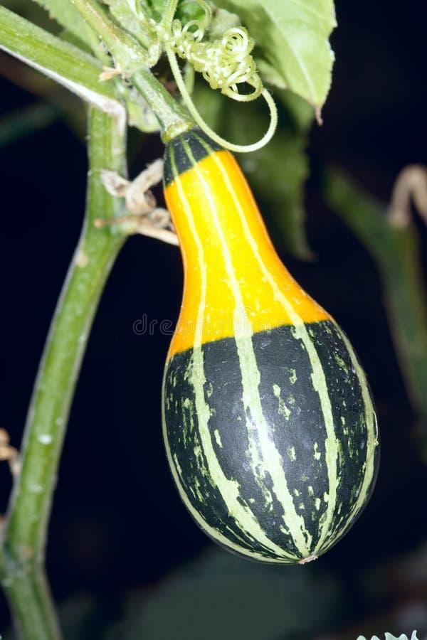 Fancy pumpkin royalty free stock photography