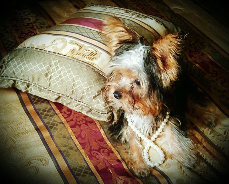 Fancy Puppy stock image