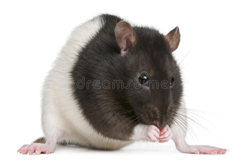 Download Fancy Rat, 1 year old stock image. Image of horizontal - 21402595