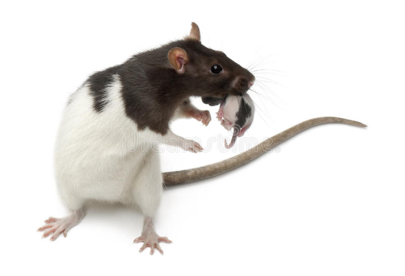 Fancy Rat Carrying Its Baby In Front Of White Stock Image ...