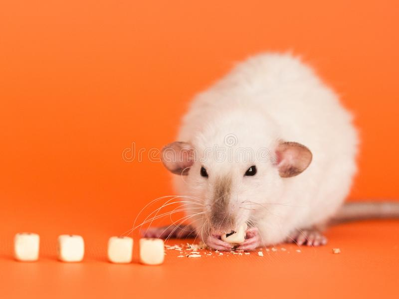 Fancy rat eatting one of five cube beads for text. Cute white dumbo fancy rat eatting one of five cube beads for letters on orange background to put text royalty free stock photography