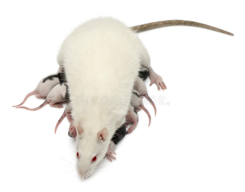 Fancy Rat Feeding Its Babies Royalty Free Stock Photography