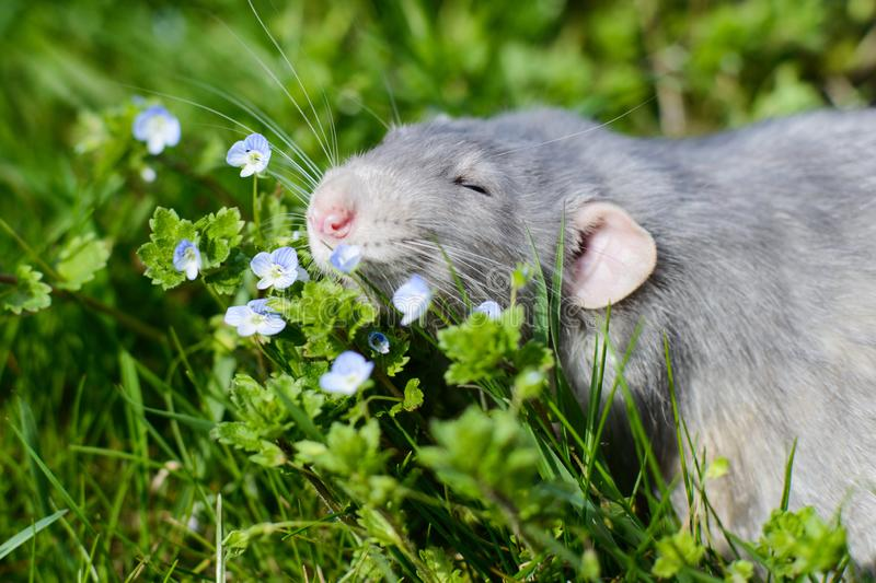 Fancy rat in green grass, Chinese New year 2020 symbol. Adorable grey dumbo fancy rat sitting in green grass and blue forget-me-not flowers. Chinese New year royalty free stock images