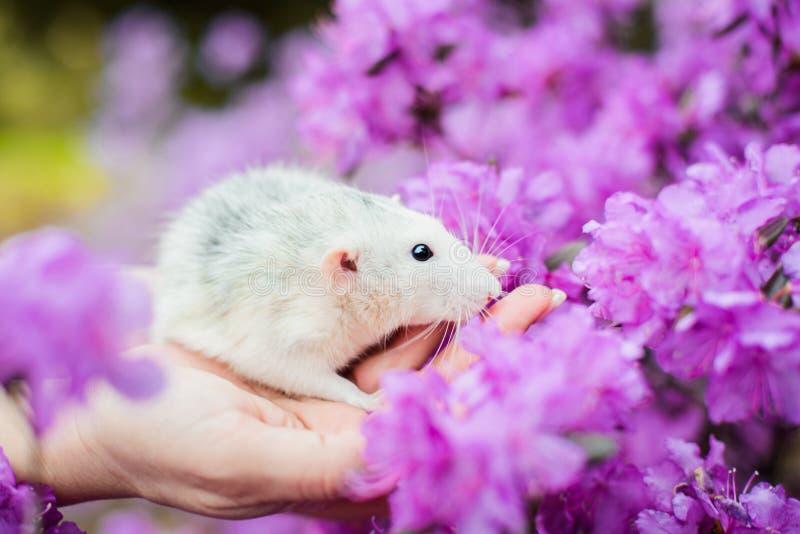 Fancy rat in purple azalea blossom, Chinese New year 2020 stock photo