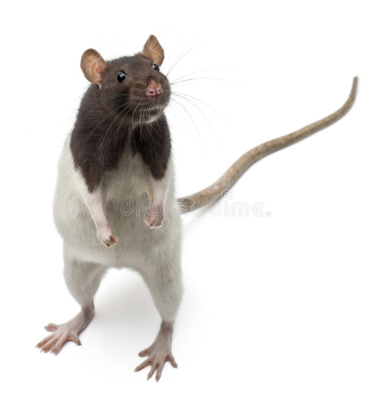Fancy Rat standing up in front of white background stock images