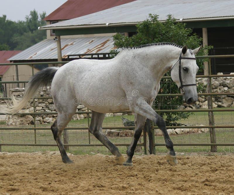 Download Fancy trot stock photo. Image of horse, equine, gray, gelding - 135776