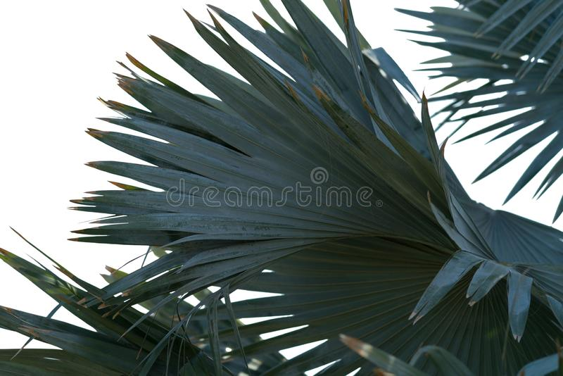 Fanen formade gröna sidor av en tropisk palmträd fotografering för bildbyråer