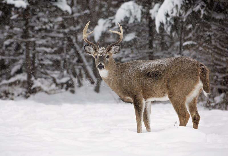 fanfarrão Branco-atado dos cervos imagens de stock royalty free
