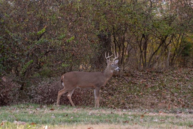 fanfarrão Branco-atado dos cervos ao longo da borda das madeiras fotografia de stock