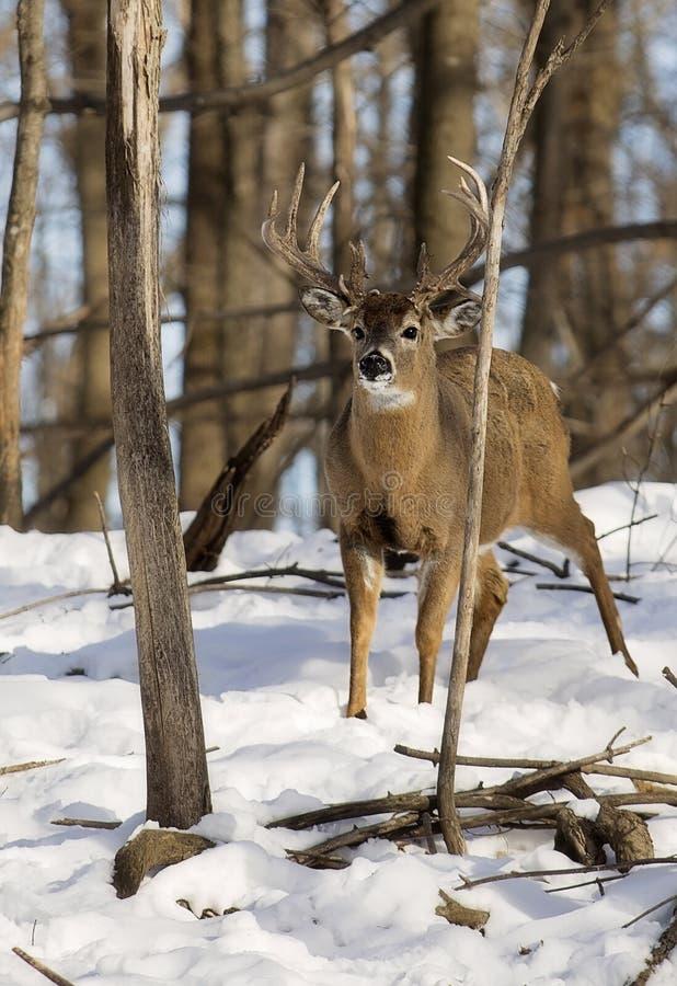 fanfarrão Branco-atado dos cervos dentro com RUB da árvore imagem de stock