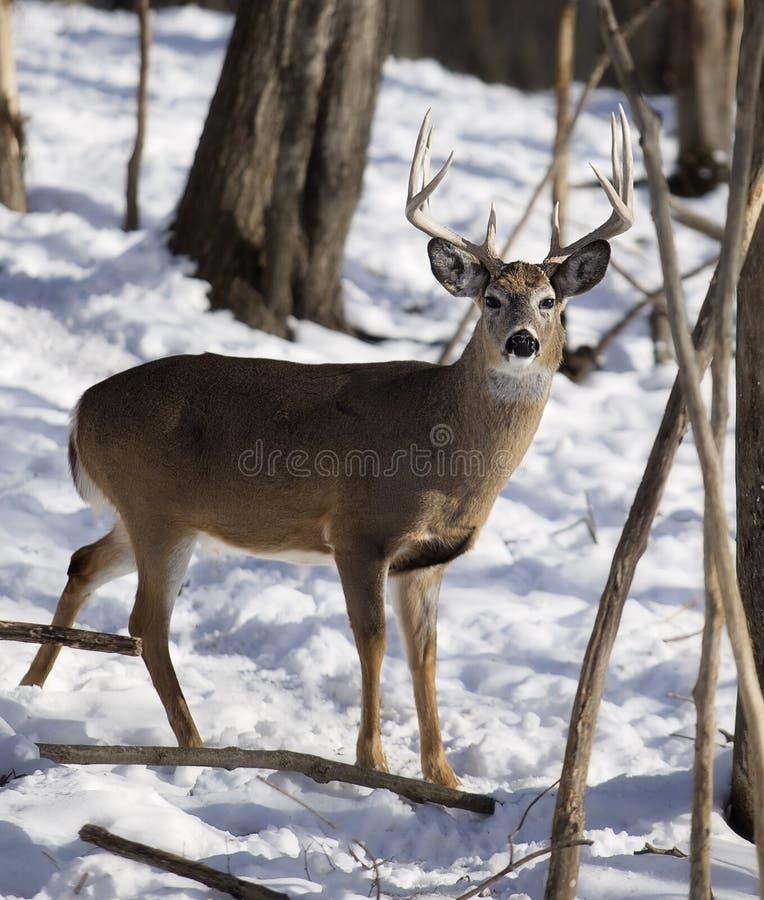 fanfarrão Branco-atado dos cervos no inverno imagem de stock