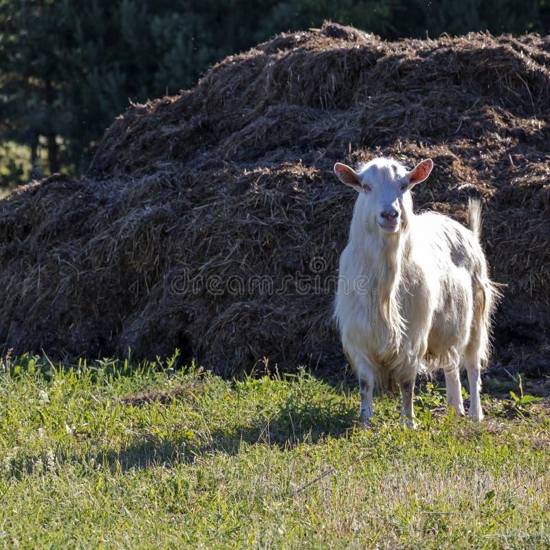 Fanfarrão branco, cabra masculina na exploração agrícola orgânica sustentável com campos verdes imagem de stock royalty free