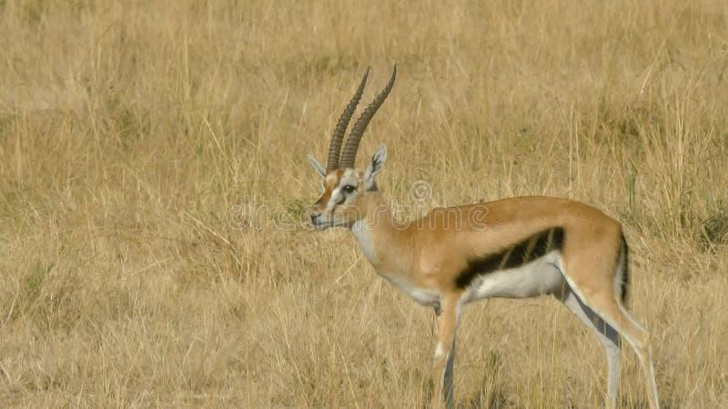 Fanfarrão da gazela de um thompson que prepara no Masai mara imagens de stock royalty free