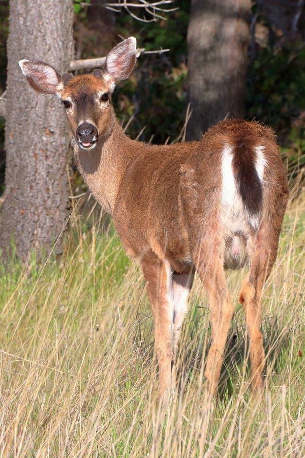 Fanfarrão de cauda negra columbian novo dos cervos, columbianus do hemionus do Odocoileus, no ponto do leste na luz da manhã, ilh fotografia de stock