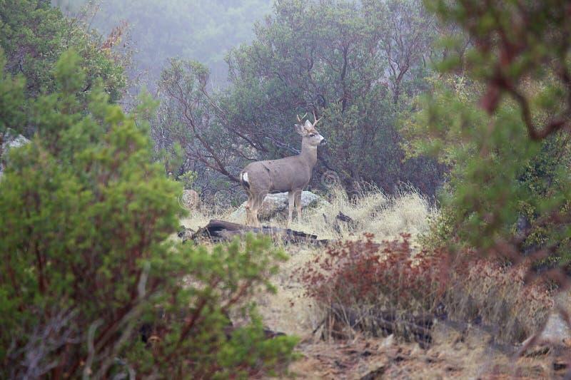 Fanfarrão dos cervos de Blacktail fotografia de stock royalty free