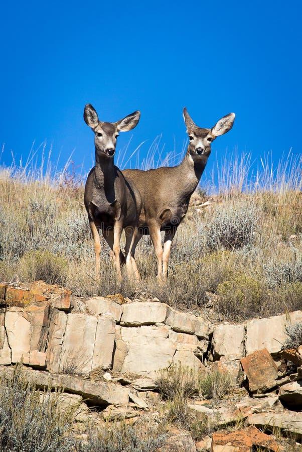 Fanfarrão dos cervos de mula imagem de stock royalty free