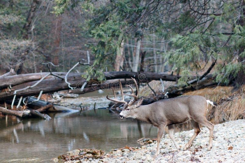 Fanfarrão dos cervos de mula que anda para o rio imagens de stock royalty free