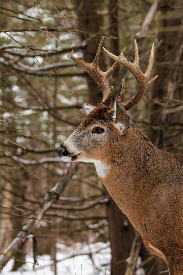 Fanfarrão dos cervos de Whitetail na neve foto de stock