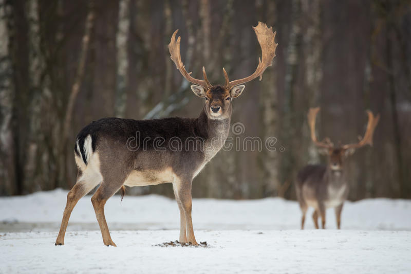 Fanfarrão dos gamos Gamos adultos poderosos majestosos, dama do Dama, na floresta do inverno, Bielorrússia Cena dos animais selva fotos de stock