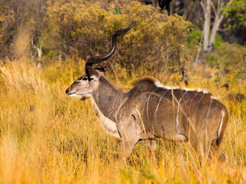 Fanfarrão masculino do kudu imagem de stock royalty free