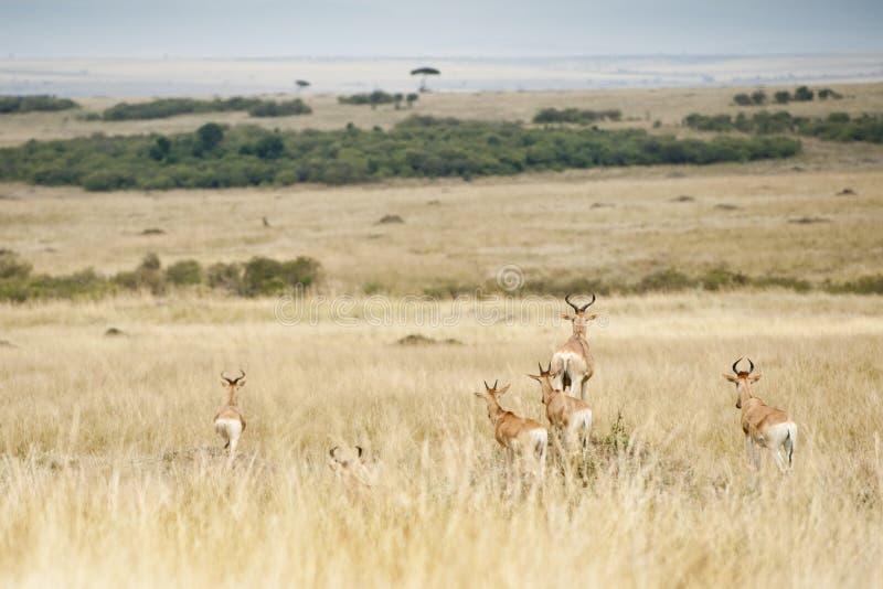 Fanfarrão que observa predadores no Masai Mara, Kenya fotos de stock royalty free