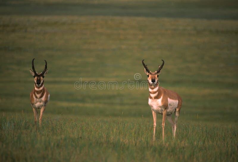 Fanfarrões do antílope de Pronghorn fotos de stock royalty free