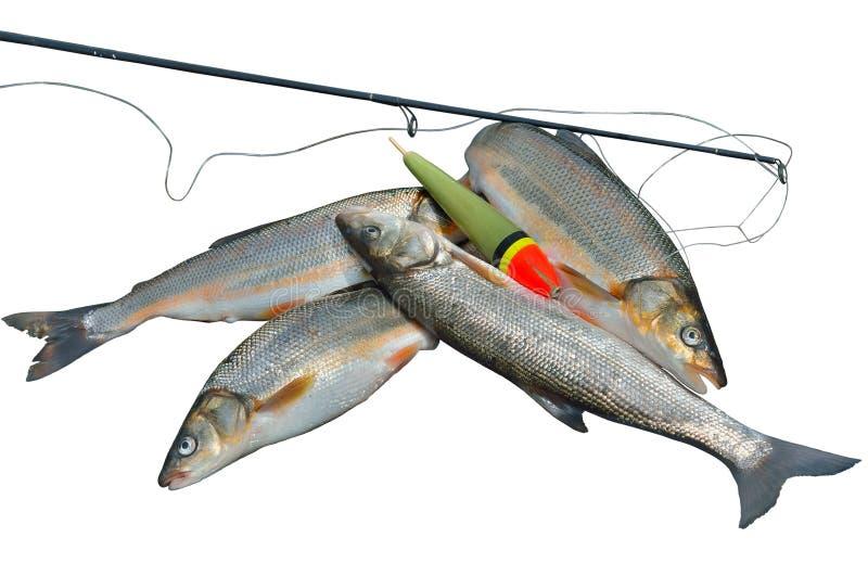 Fang Von Fischen 17 Stockfotos