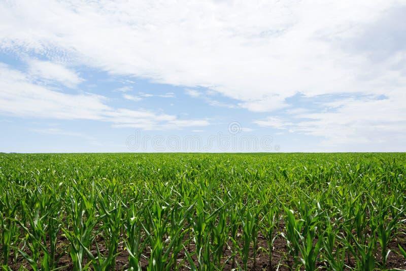 Fangen Sie Grün mit wachsendem Mais auf einem Hintergrund des blauen Himmels mit Wolken auf landwirtschaft lizenzfreie stockbilder