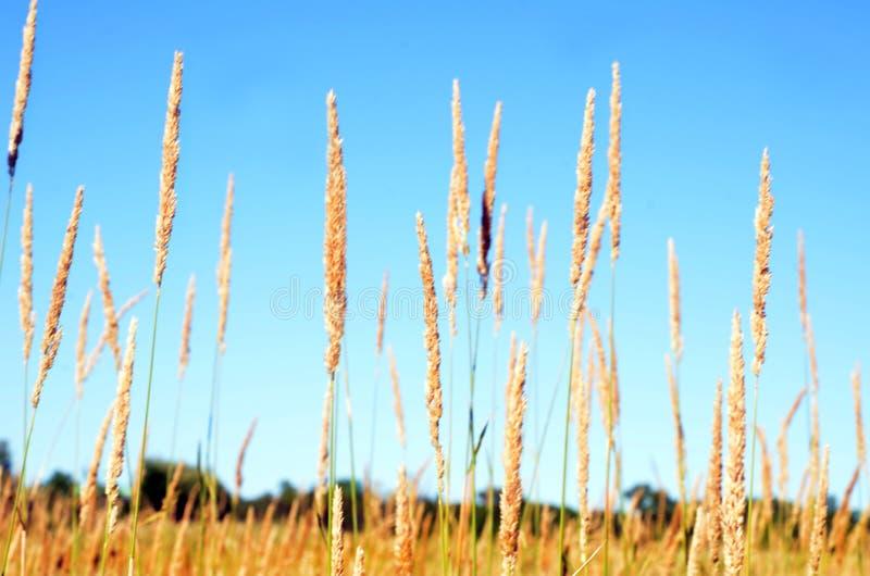 Fangen Sie Graskorn-Samenköpfe gegen blauen Himmel auf lizenzfreies stockfoto