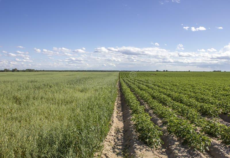 Fangen Sie Kartoffeln und Hafer in einer ländlichen Landschaft auf lizenzfreies stockfoto