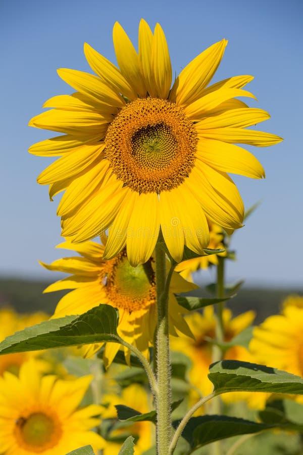 Fangen Sie Sonnenblumen, im Süden von Ukraine auf stockbilder