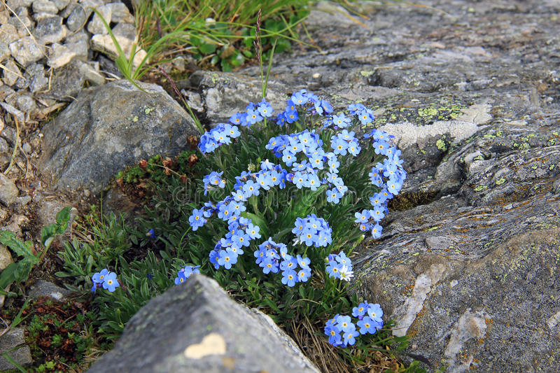 Fangen Sie vergessen-mich Blüte in den Bergen auf lizenzfreies stockbild