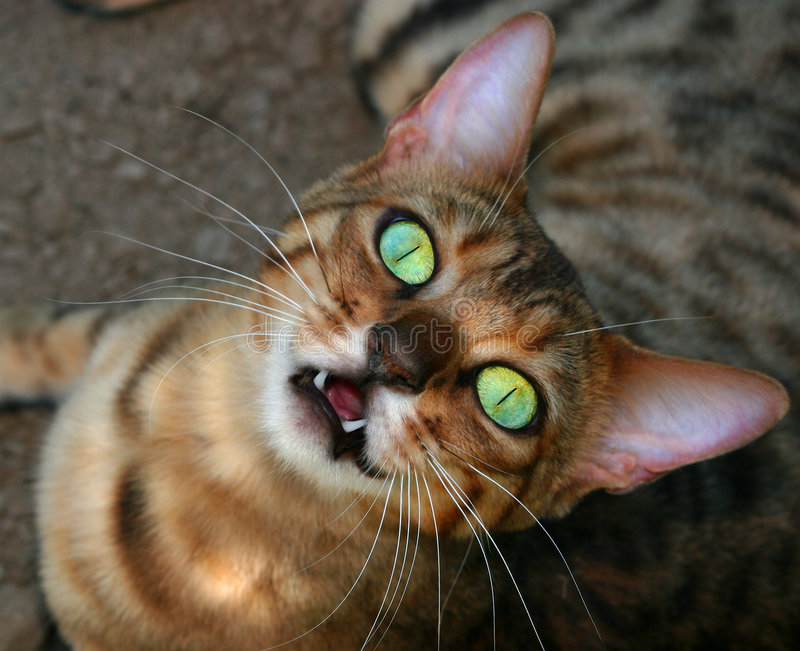 Fangs. Bengali special breed kitten looking upwards, with huge open iridescent green eyes, with its mouth open revealing two front teeth and a strange look on stock photography