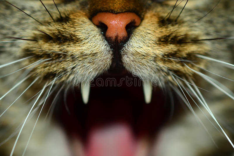 Fangs. A hissing cat with wide opened mouth royalty free stock images