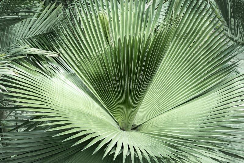 Fanpalmen-Grünblatt- oder Kokosnusswedelhintergrund vom tropischen natürlichen, das Dschungelgrünlaub hat Beschaffenheit für krea lizenzfreie stockbilder