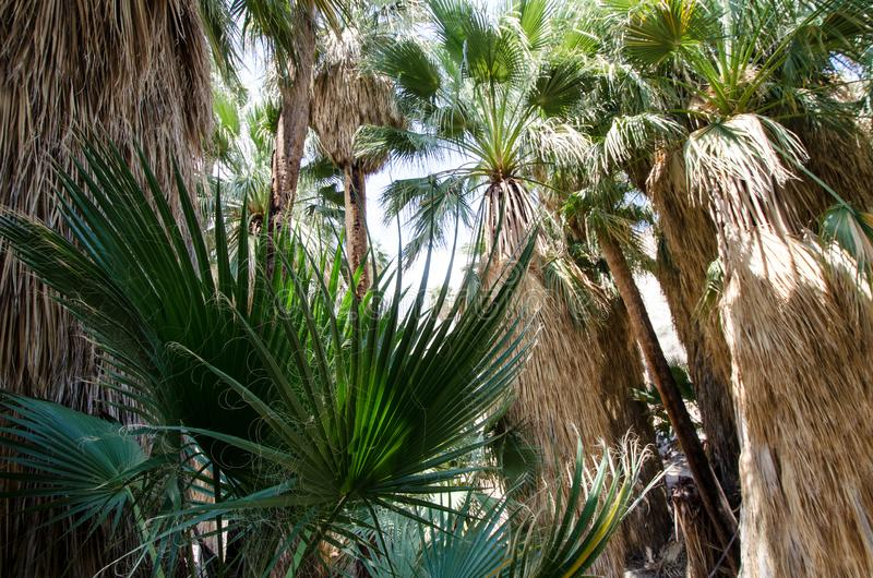 Fanpalmträd i de indiska kanjonerna nära Palm Springs Kalifornien royaltyfri foto