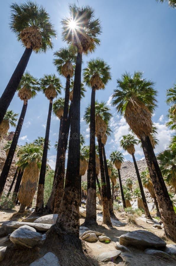 Fanpalmträd i de indiska kanjonerna nära Palm Springs Kalifornien royaltyfri bild