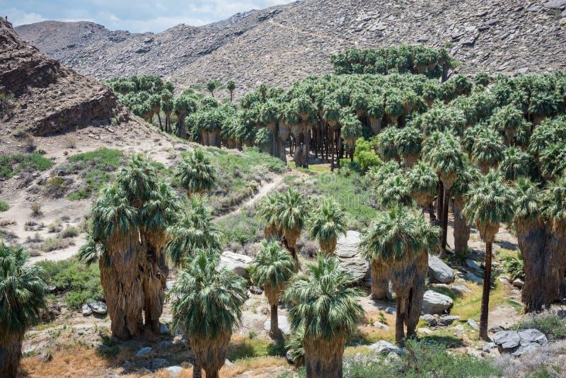 Fanpalmträd i det steniga landskapet av indiska kanjoner nära Palm Desert Kalifornien arkivfoto