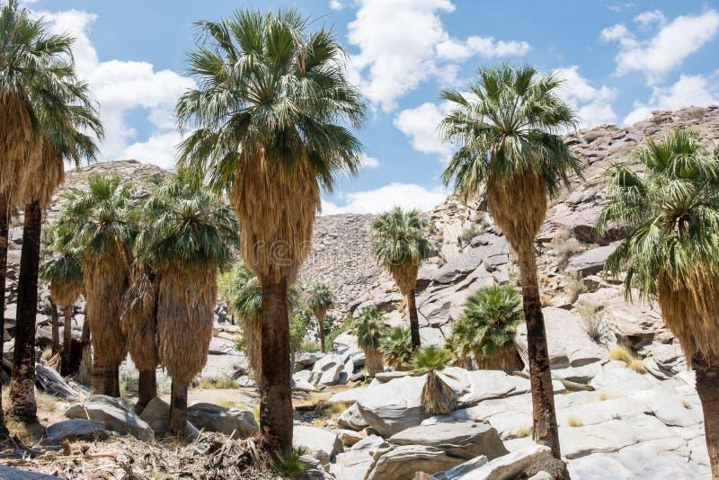 Fanpalmträd i det steniga landskapet av indiska kanjoner nära Palm Springs royaltyfri foto