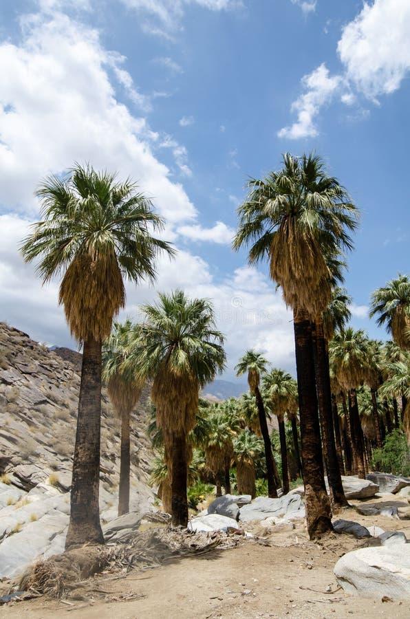 Fanpalmträd i det steniga landskapet av indiska kanjoner nära Palm Springs arkivfoto