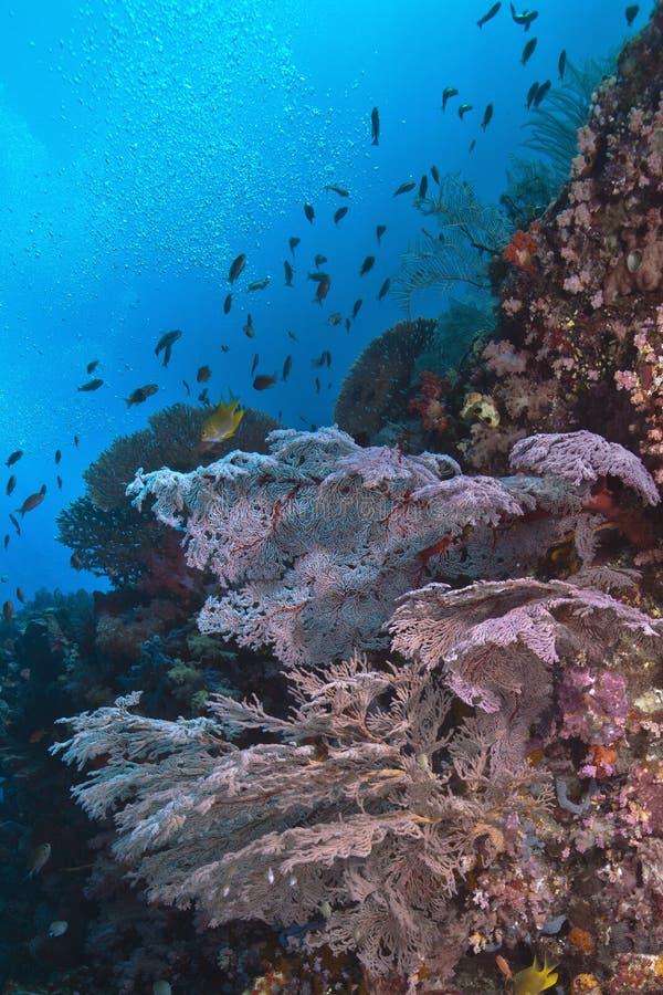Fans de mer roses luminescentes sur le récif de mur photo stock