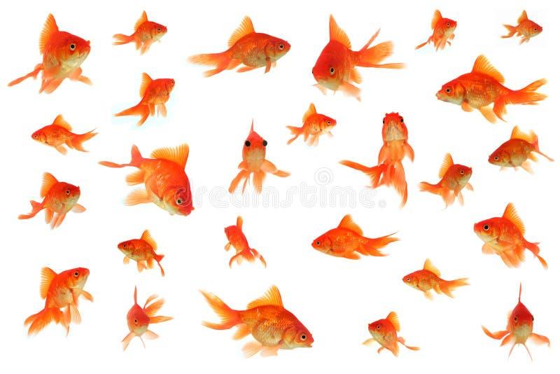 Fantail goudviscollage stock foto