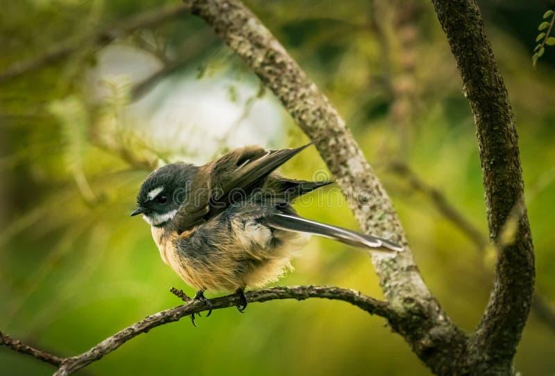 Fantail van Nieuw Zeeland stock foto