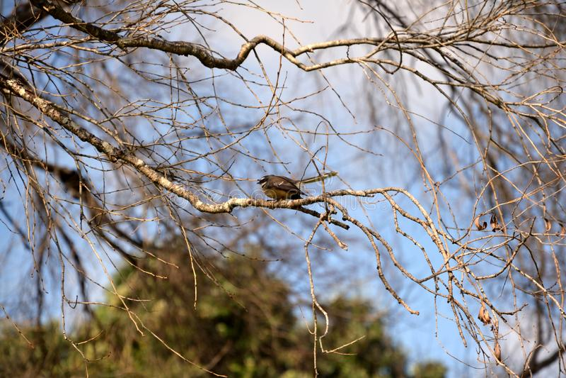 Fantail van Nieuw Zeeland - Rhipidura stock foto's