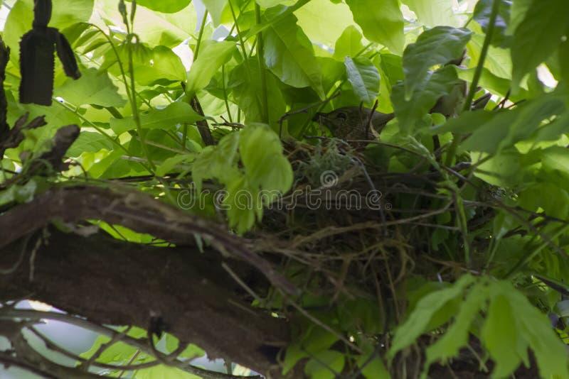 Fantailvogel versteckt auf Nest stockfotografie
