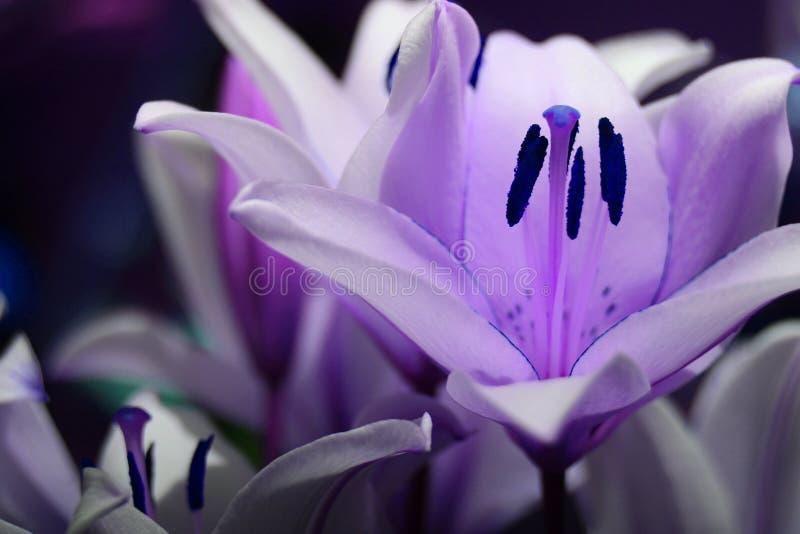 Fantasía púrpura del lirio foto de archivo libre de regalías