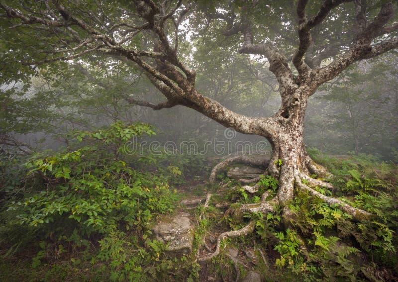 Fantasia assustador do NC da névoa da floresta da árvore assustador do conto de fadas imagens de stock royalty free