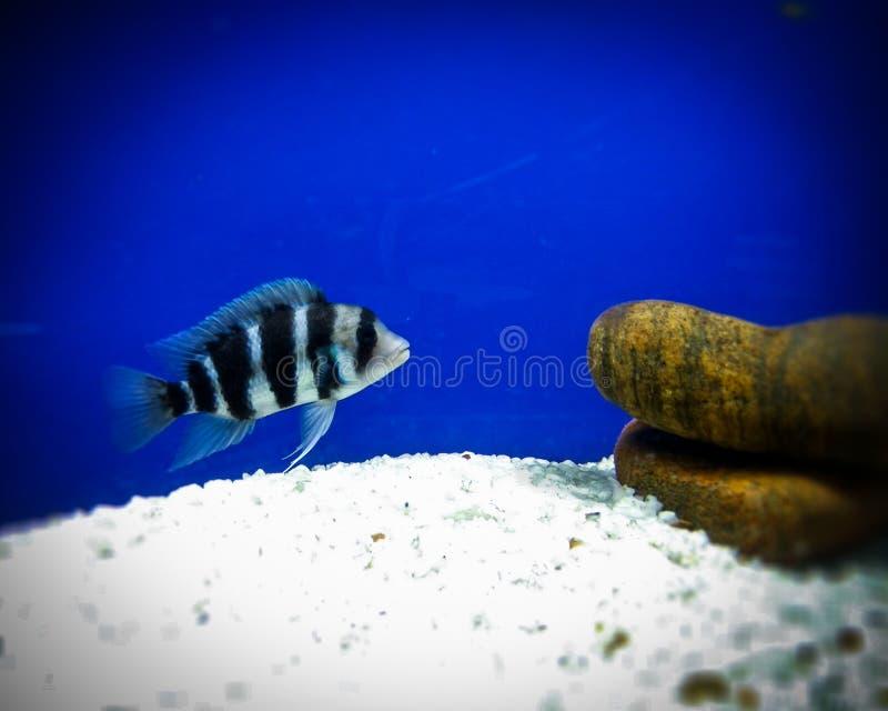 Fantasia species fish stock image