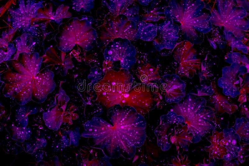 Fantasia vívida da cor em cores violetas da meia-noite: gotas nas folhas roxo-vermelhas após a chuva, vista superior da água, pre fotografia de stock royalty free