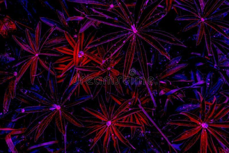 Fantasia v?vida da cor em cores violetas da meia-noite: gotas nas folhas roxo-vermelhas ap?s a chuva, vista superior da ?gua, pre fotos de stock